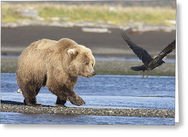 Two Crows Greeting Cards - Grizzly Bear Ursus Arctos Horribilis Greeting Card by Matthias Breiter