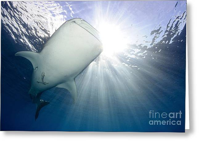 Elasmobranch Greeting Cards - Whale Shark Feeding Under Fishing Greeting Card by Steve Jones