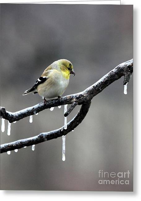 American Goldfinch Greeting Card by Jack R Brock
