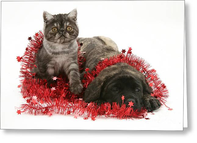 Mastiff Pup Greeting Cards - Kitten And Puppy Greeting Card by Jane Burton