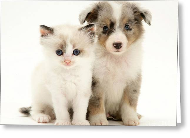 Cats Birman Greeting Cards - Kitten And Puppy Greeting Card by Jane Burton