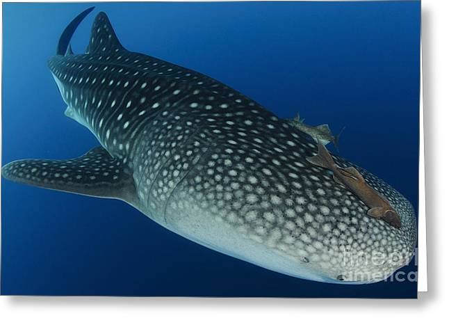 Symbiotic Relationship Greeting Cards - Whale Shark Feeding Under Fishing Greeting Card by Steve Jones