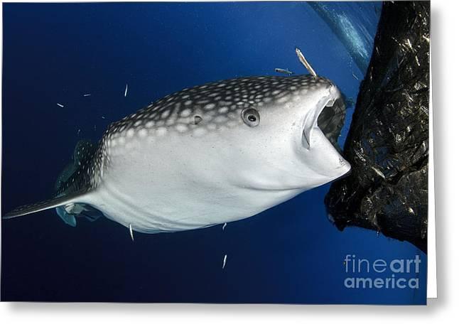 Baitfish Greeting Cards - Whale Shark Feeding Under Fishing Greeting Card by Steve Jones