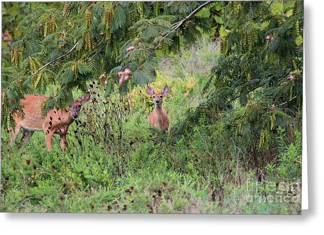White Photographs Greeting Cards - White-tailed Deer Greeting Card by Jack R Brock