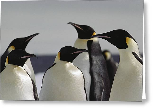 Antarctic Ocean Greeting Cards - A Group Of Emperor Penguins Greeting Card by Bill Curtsinger