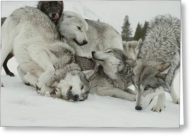 Bonding Greeting Cards - A Pack Of Gray Wolves, Canis Lupus Greeting Card by Jim And Jamie Dutcher