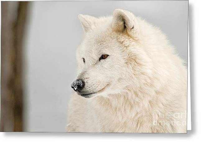 Animal Photography Greeting Cards - Arctic Wolf Portrait Greeting Card by Michael Cummings
