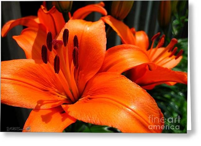 Brunello Greeting Cards - Asiatic Lily named Brunello Greeting Card by J McCombie