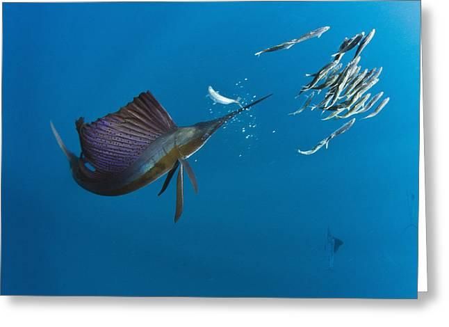 Predating Greeting Cards - Atlantic Sailfish Istiophorus Albicans Greeting Card by Pete Oxford