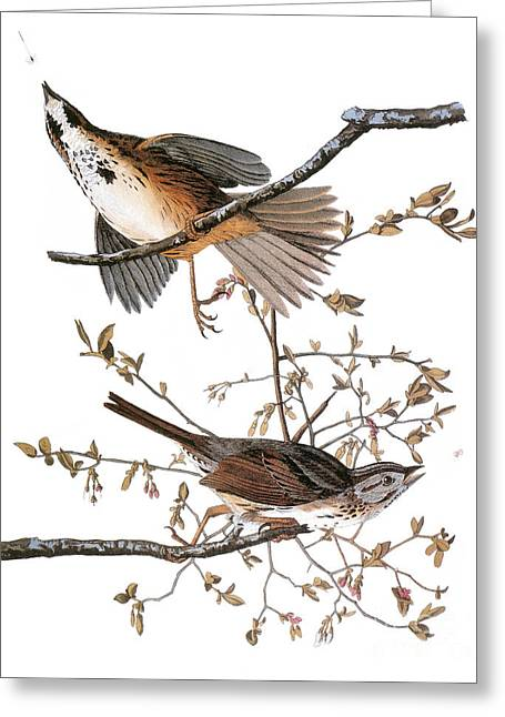 Sparrow Greeting Cards - Audubon: Sparrow, (1827-38) Greeting Card by Granger