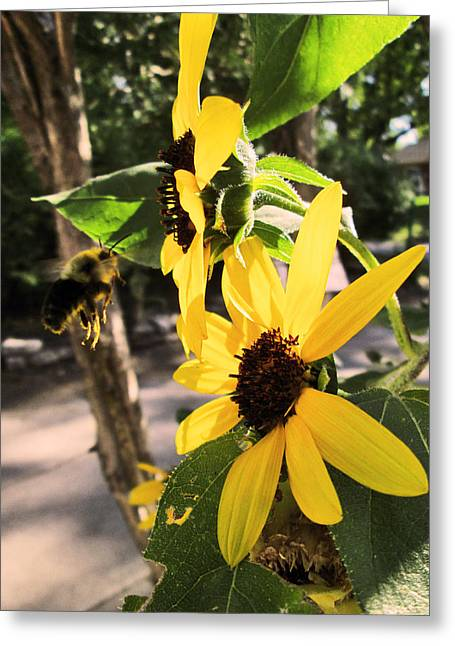Actions Pyrography Greeting Cards - Bee And Sunflower  Greeting Card by Jon Baldwin  Art