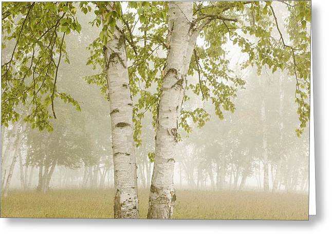 Foggy Day Greeting Cards - Birch Trees In The Fog Thunder Bay Greeting Card by Susan Dykstra