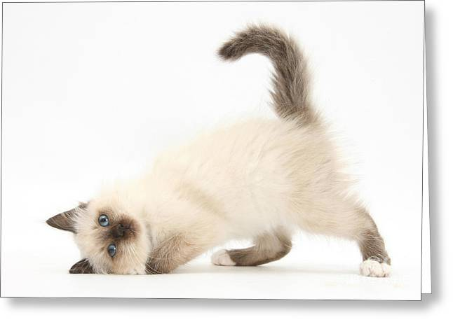 Playful Kitten Greeting Cards - Birman-cross Kitten Greeting Card by Mark Taylor
