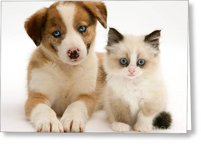 Cute Kitten Greeting Cards - Border Collie And Birman-cross Kitten Greeting Card by Jane Burton
