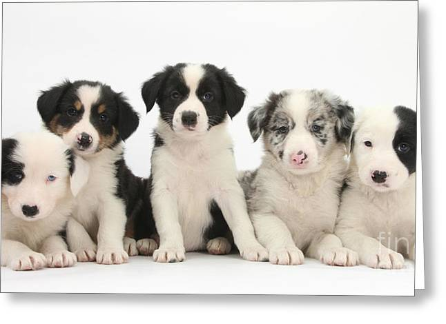 Row Of Houses Greeting Cards - Border Collie Puppies Greeting Card by Mark Taylor