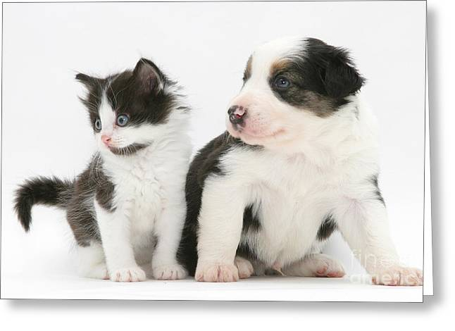 Cute Kitten Greeting Cards - Border Collie Puppy And Kitten Greeting Card by Jane Burton