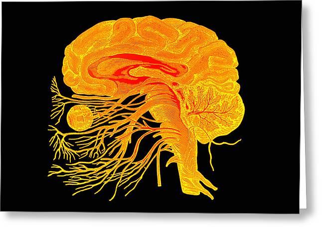 Corpus Callosum Greeting Cards - Brain Anatomy Greeting Card by Mehau Kulyk