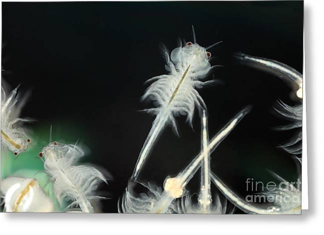 Brine Greeting Cards - Brine Shrimp Greeting Card by Ted Kinsman