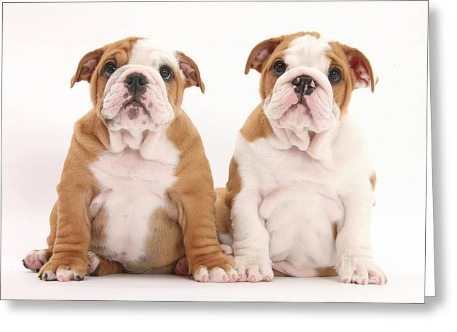 Puppy Sitting Greeting Cards - Bulldog Puppies Greeting Card by Mark Taylor