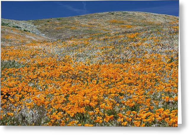 Californian Greeting Cards - Californian Poppies (eschscholzia) Greeting Card by Bob Gibbons