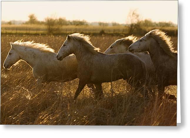 Camargue Horse Equus Caballus Group Greeting Card by Konrad Wothe