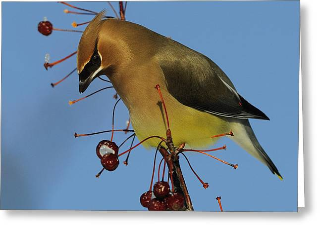 Cedar Waxwing Greeting Cards - Cedar Waxwing... Greeting Card by Nina Stavlund
