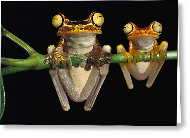 Tree Frogs Greeting Cards - Chachi Tree Frog Hyla Picturata Pair Greeting Card by Pete Oxford