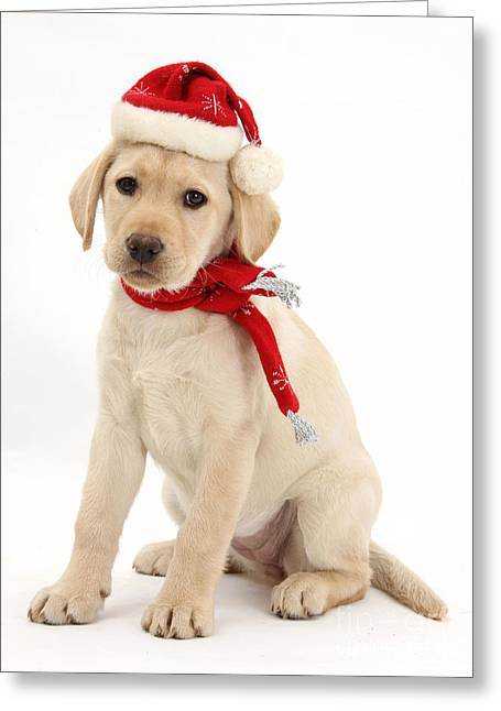 Cute Labradors Greeting Cards - Christmas Puppy Greeting Card by Mark Taylor