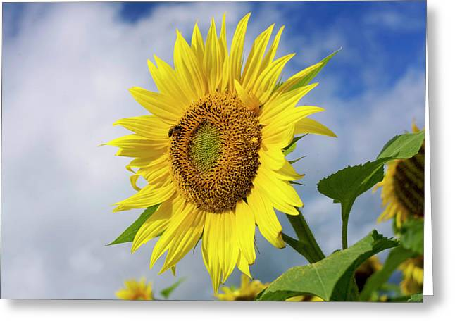 Asteraceae Greeting Cards - Close up of sunflower Greeting Card by Bernard Jaubert