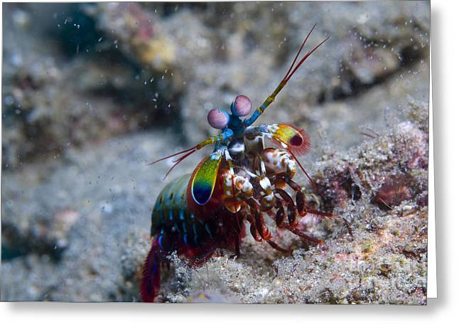 Undersea Photography Greeting Cards - Close-up View Of A Mantis Shrimp, Papua Greeting Card by Steve Jones