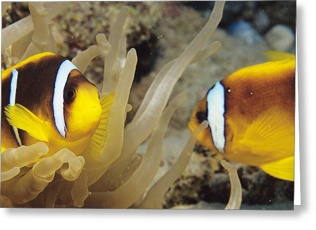 Biology Greeting Cards - Clown Fish Greeting Card by Alexis Rosenfeld