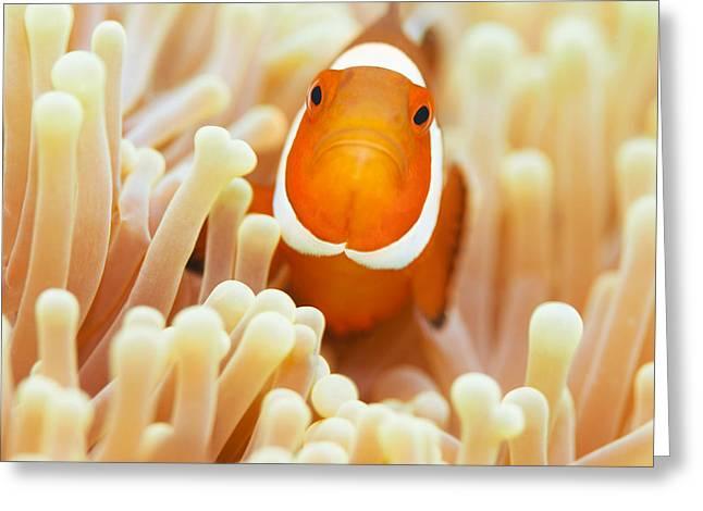 Sipadan Greeting Cards - Clownfish Greeting Card by MotHaiBaPhoto Prints