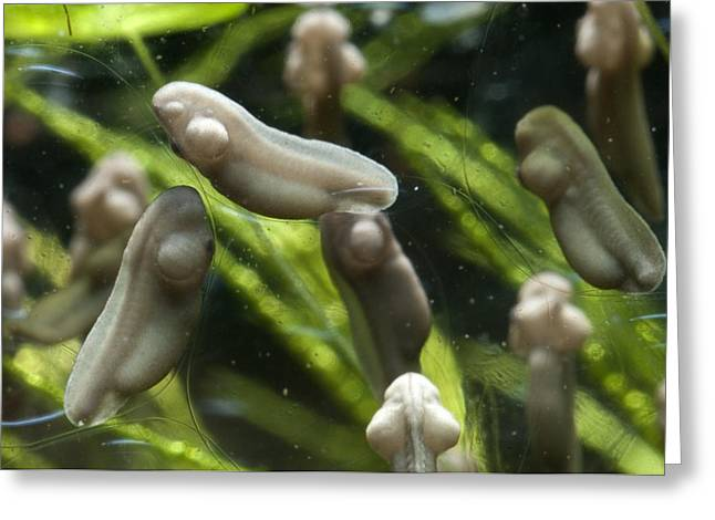 Embryo Greeting Cards - Developing Frogs Eggs Greeting Card by Angel Fitor
