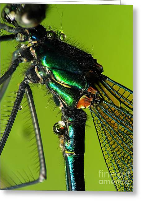 Sweating Greeting Cards - Dragonfly in drops Greeting Card by Odon Czintos