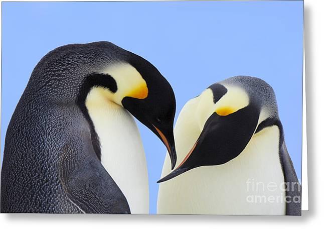 Aptenodytes Sp Greeting Cards - Emperor Penguin Aptenodytes Forsteri Greeting Card by Jan Vermeer