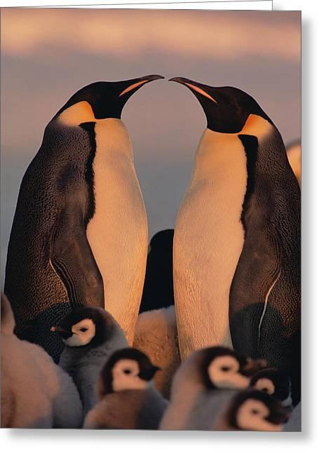 Aptenodytes Sp Greeting Cards - Emperor Penguin Aptenodytes Forsteri Greeting Card by Konrad Wothe