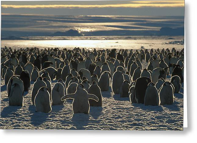 Baby Bird Greeting Cards - Emperor Penguin Aptenodytes Forsteri Greeting Card by Pete Oxford