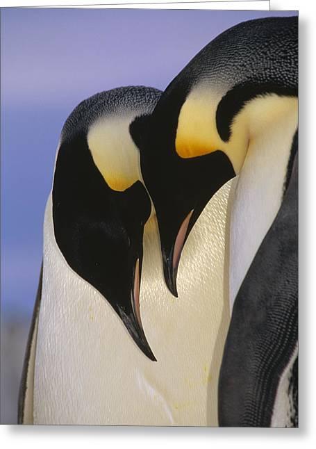 Spheniscidae Greeting Cards - Emperor Penguin Aptenodytes Forsteri Greeting Card by Tui De Roy