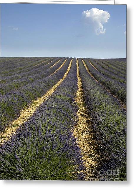 Perfumeries Greeting Cards - Field of lavender. Provence Greeting Card by Bernard Jaubert