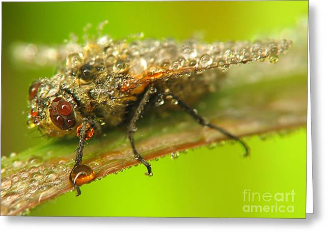 Sweating Greeting Cards - Fly Greeting Card by Odon Czintos