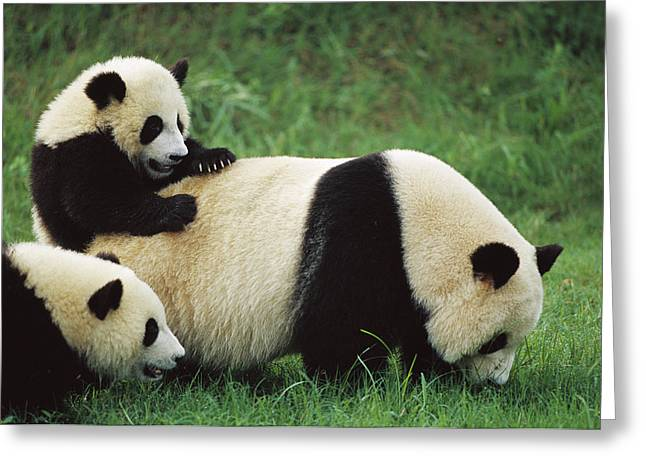 Sichuan Province Greeting Cards - Giant Panda Ailuropoda Melanoleuca Greeting Card by Cyril Ruoso