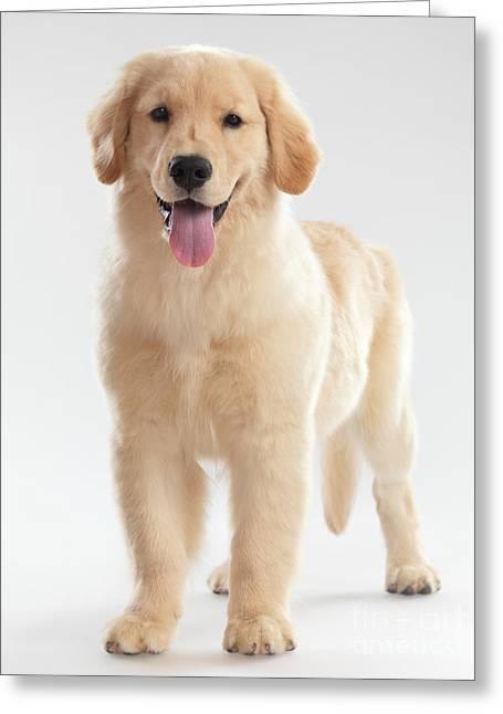 Golden Retriever Puppy Greeting Card by Oleksiy Maksymenko