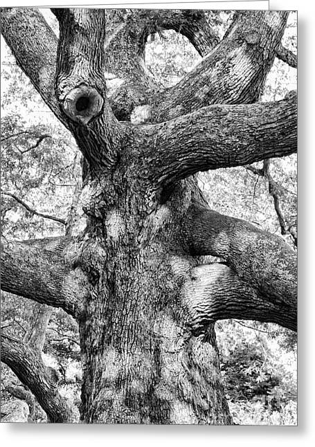 Huge Trees Greeting Cards - Granby Oak Greeting Card by HD Connelly