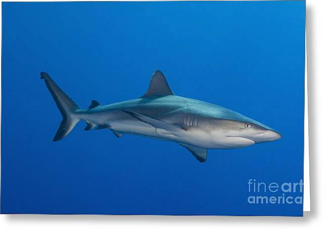 New Britain Greeting Cards - Gray Reef Shark, Kimbe Bay, Papua New Greeting Card by Steve Jones