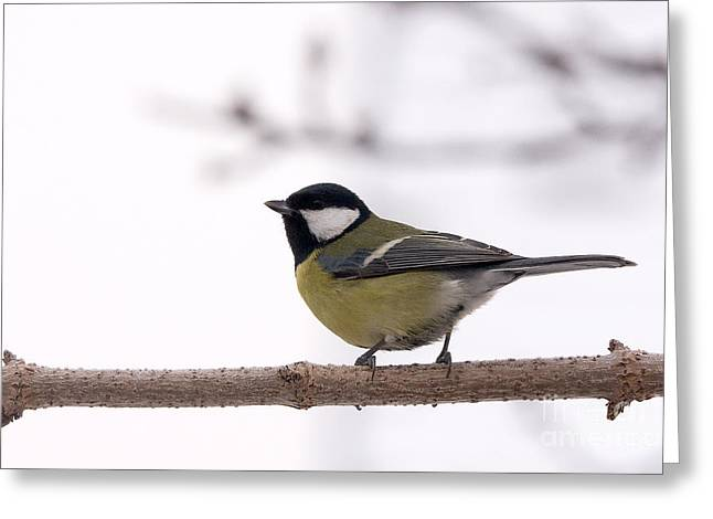 Anatinae Greeting Cards - Great tit Greeting Card by Odon Czintos