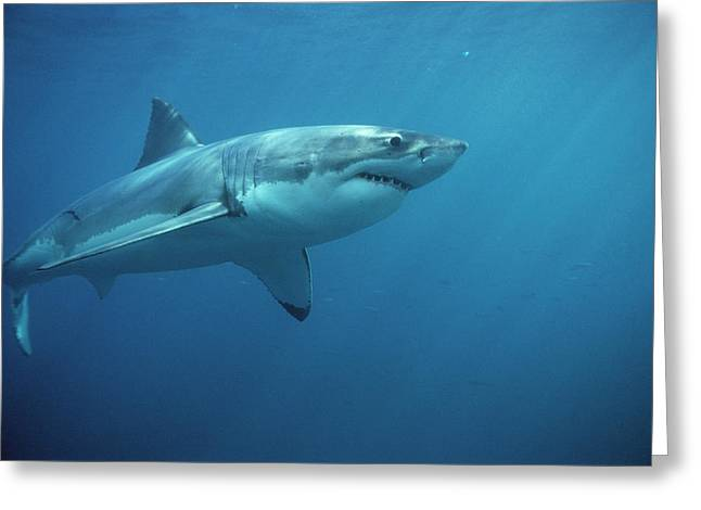 White Shark Photographs Greeting Cards - Great White Shark Carcharodon Greeting Card by Mike Parry