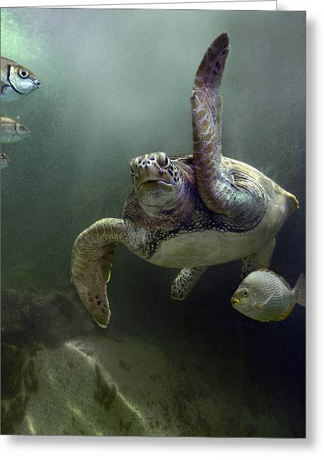 Mp Greeting Cards - Green Sea Turtle Chelonia Mydas Greeting Card by Tim Fitzharris