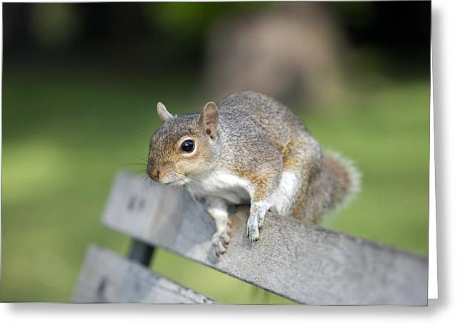 Sciurus Carolinensis Greeting Cards - Grey Squirrel Greeting Card by Georgette Douwma