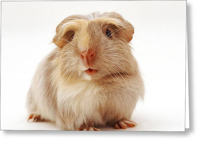 Cavy Greeting Cards - Guinea Pig Greeting Card by Jane Burton