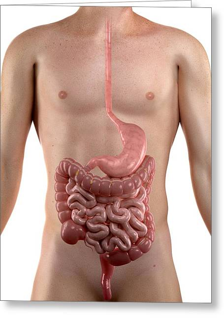 Gi Greeting Cards - Healthy Digestive System, Artwork Greeting Card by Sciepro